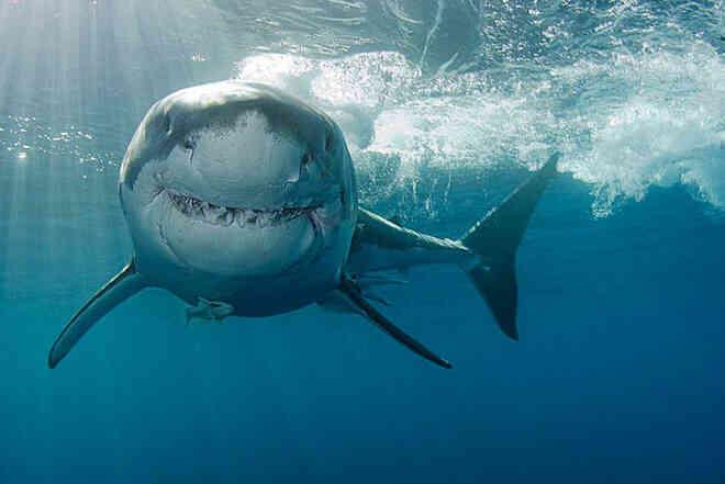 Loài vật khiến cá mập trắng khiếp sợ, hễ nhìn thấy là chúng trốn ngay sang vùng biển khác - Ảnh 8.