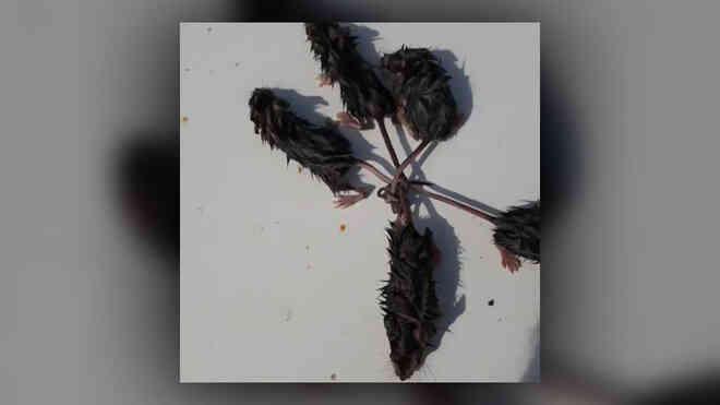 """5 con chuột thắt đuôi vào nhau tạo thành tượng """"vua chuột"""" hiếm gặp"""