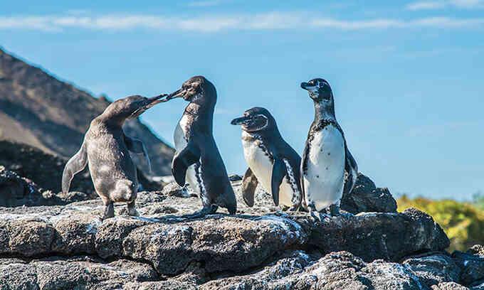 Số lượng chim không biết bay tăng kỷ lục ở Galapagos