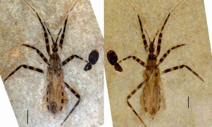 Hóa thạch bọ sát thủ 50 triệu năm tuổi