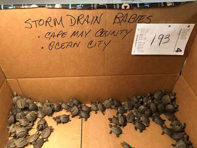 Giải cứu hơn 800 con rùa dưới cống thoát nước