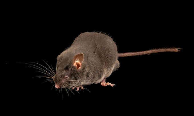 Loài chuột mù xác định vị trí bằng âm thanh
